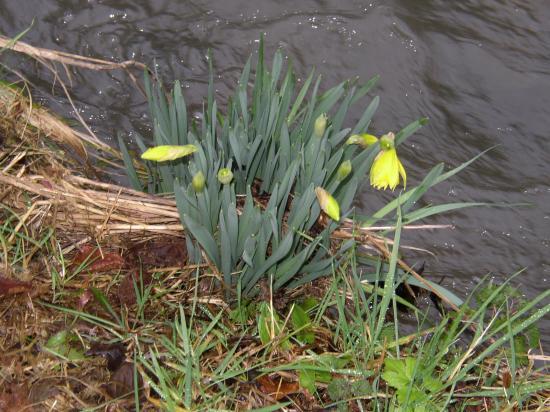 Premieres Narcices au bord du ruisseau